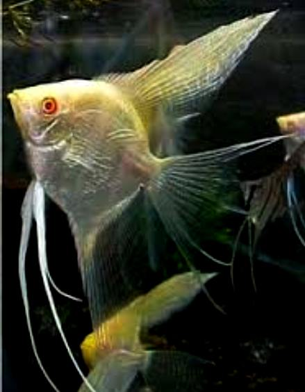Angelfish-Albino Pure Platinum Veil - Small